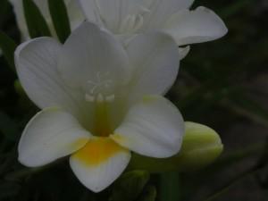Hermosa flor blanca con un pétalo amarillo