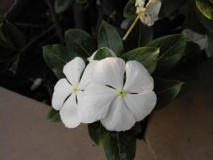 Dos flores blancas en una planta