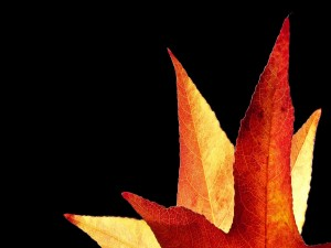 Postal: Dos hojas otoñales en un fondo negro