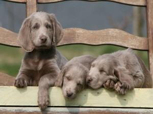 Tres adorables cachorros