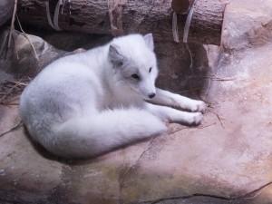 Postal: Un zorro ártico en un zoo
