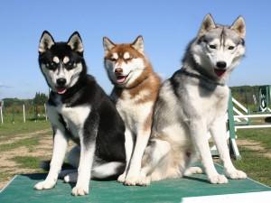 Postal: Trío de hermosos perros