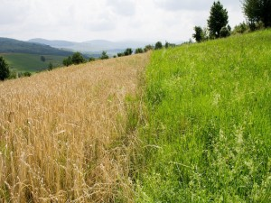 Campo de trigo y pastos