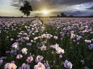 Postal: Campo de amapolas color púrpura