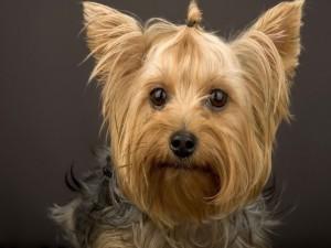 Un bonito y simpático Yorkshire Terrier