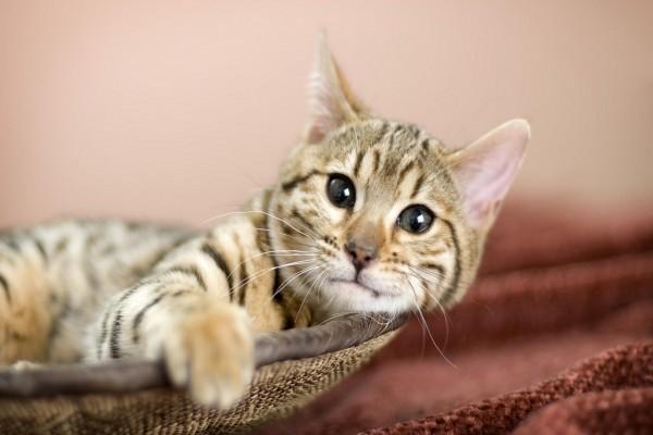 Un hermoso gato tumbado en un cestillo