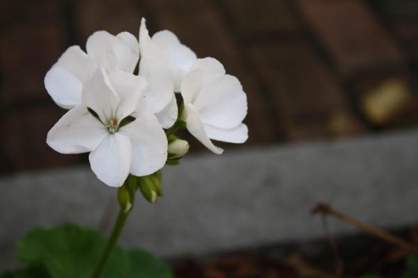 Varias flores en un mismo tallo
