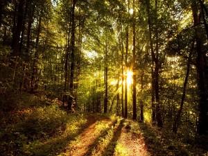 Postal: Rallos de sol iluminando el camino de un bosque