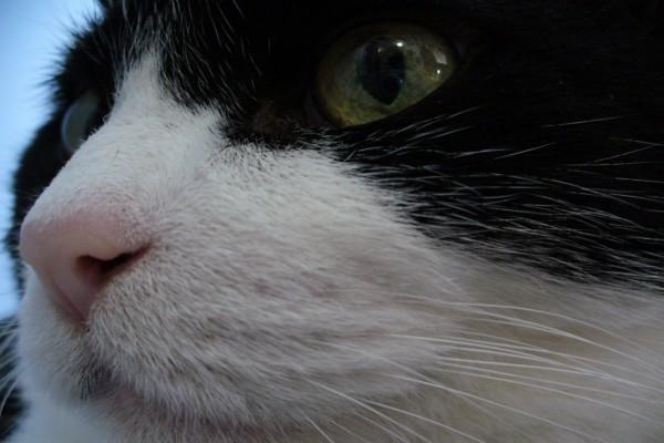 La cara de un gato blanco y negro