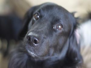 Postal: Un bonito perro negro