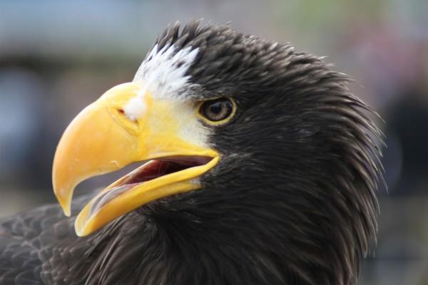 Águila abriendo su gran pico