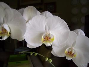 Tres orquídeas blancas
