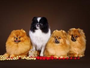 Cuatro perros de la misma raza