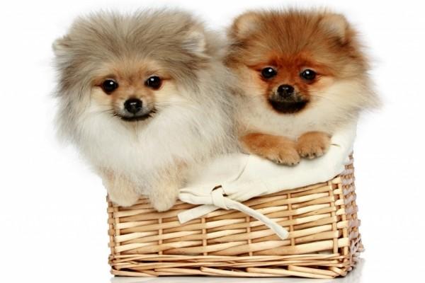 Dos cachorros Spitz en una cesta de mimbre