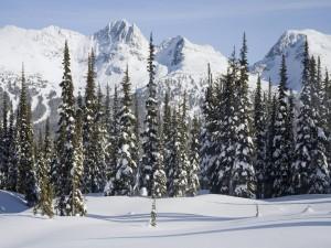 Pinos y montañas nevadas