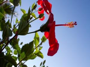 Hibisco rojo bajo un limpio y azul cielo