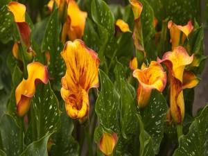 Un hermoso jardín con calas amarillas