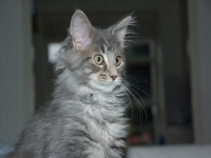 Postal: Un gato gris con largos bigotes