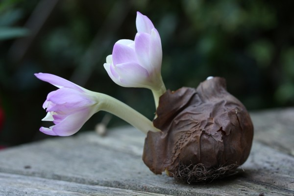 Flores creciendo de un bulbo