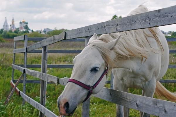 Caballo blanco en un recinto de madera