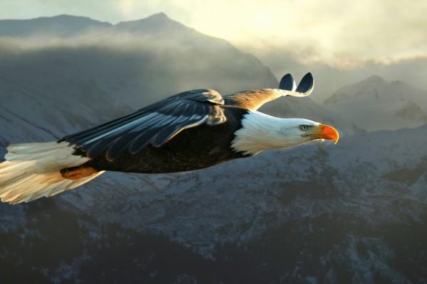 Gran águila volando