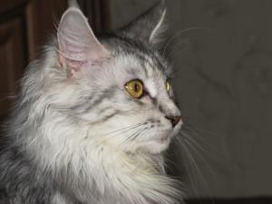 Gato con mucho pelo