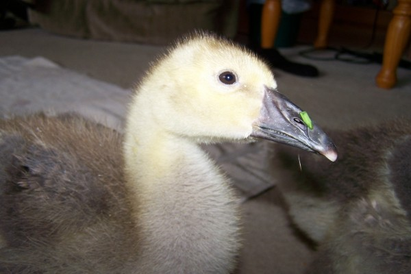 Un joven pato