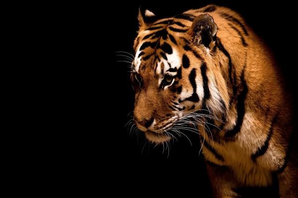 Joven tigre en un fondo negro