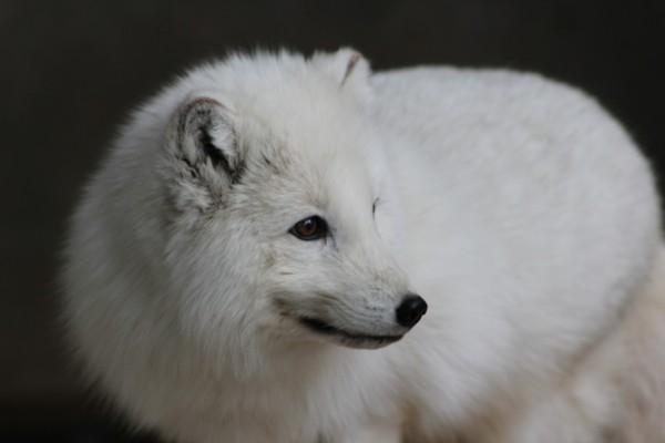 Un zorro ártico