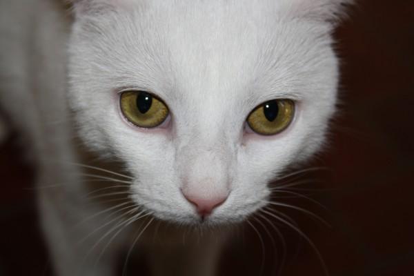 Los grandes ojos de un gato blanco