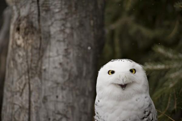 Nieve sobre las plumas de un búho nival