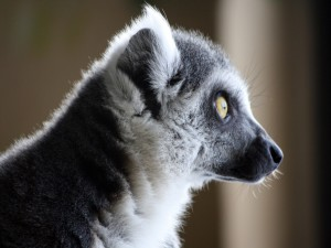 Postal: Un lemur