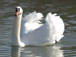 Un hermoso cisne en el agua