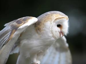 Una lechuza común abriendo las alas
