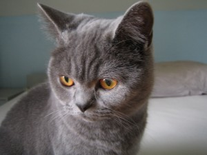 Ojos naranjas de un gato gris