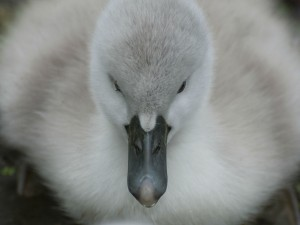 Polluelo de cisne