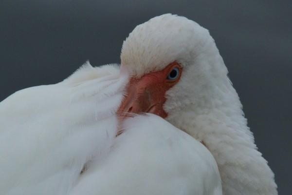 Ave con el pico entre las plumas