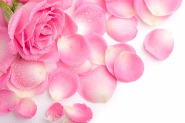 Rosa con gotitas de rocío