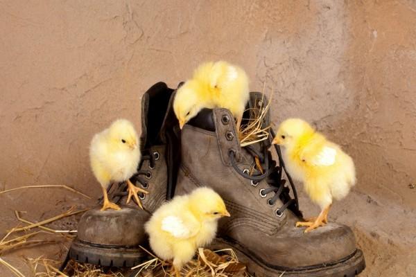 Pollitos sobre unas botas