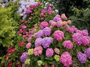 Postal: Jardín de hortensias de diferente colores