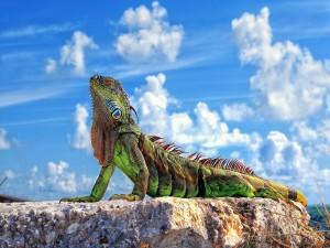 Postal: Iguana sobre una roca