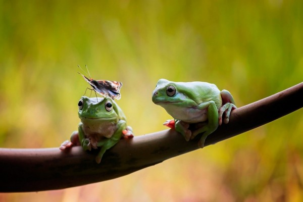 Las ranas y la mariposa
