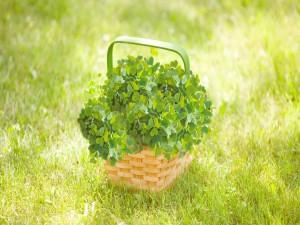 Postal: Trébol verde en una cesta de mimbre