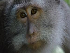 Postal: Mirada triste de un mono