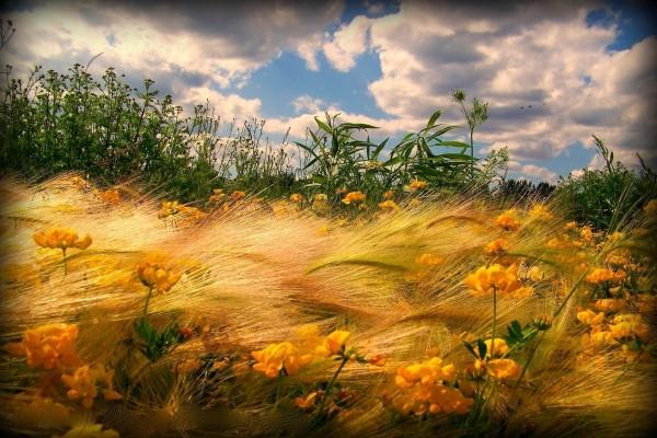 Flores amarillas entre las espigas