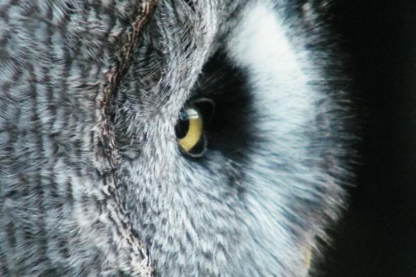 El ojo de un búho