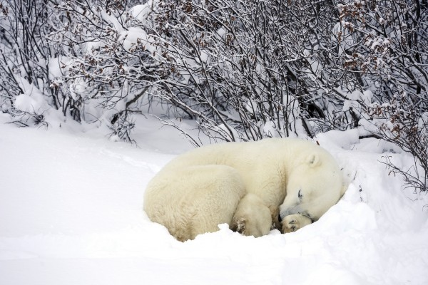 Oso polar dormido sobre la nieve