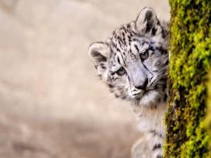 Un joven leopardo de las nieves tras un árbol