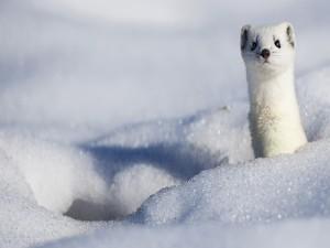 Un armiño en la nieve