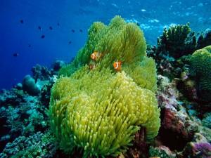 Magnífica anémona de mar con peces payaso
